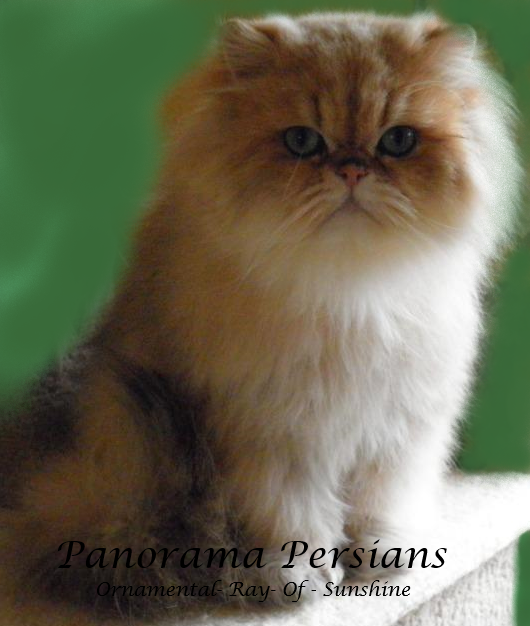 Panorama Persians Stud GD.Gd.Ch Ornamental-Ray-Of-