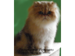 Panorama Persians - Breeder of the Golden, Shaded Silver,  Chinchilla and soon the Colourpoint Persians.    Launceston, TAS