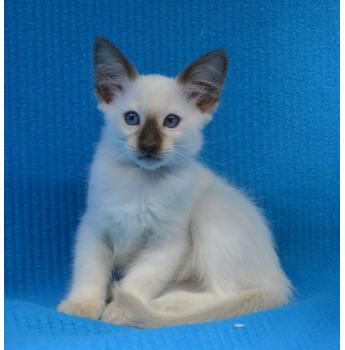 Balinese Breeders Australia   Balinese Info & kittens