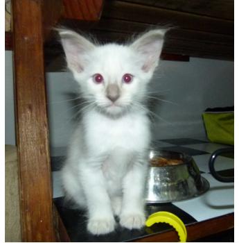 Turkish angora cat for sale brisbane