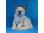 Abanza & Alanza: Balinese, Siamese and Oriental Cat Breeder - Brisbane, Queensland