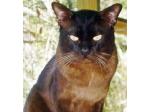 Killara Kittens - Burmese, British Shorthairs, Selkirk Rex, Oriental & Siamese Cat Breeders Australia - Victoria