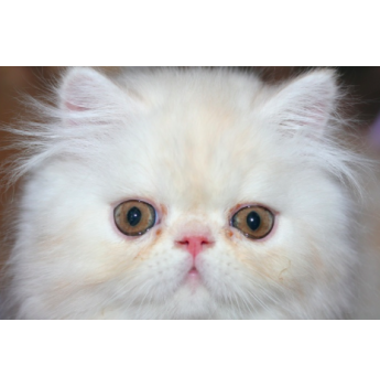 Maine coon kittens for sale in queensland