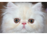 Karahaven Katz - Chinchilla, Munchkin, Napoleon, Persian, Maine Coon Cat Breeder - Townsville, QLD