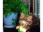 Cagra Cats - Persian and Himalayan Exotic Cat Breeder - Sydney, NSW