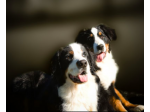 Berneridge - Bernese Mountain Dog Breeder - Narre Warren North, VIC