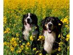 Bernabout Bernese - Bernese Mountain Dog Breeder - Perth, WA