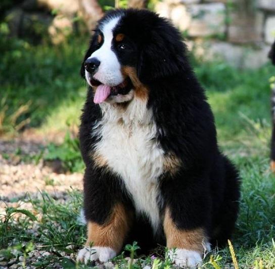 St Bernese Mountain Dog Rescue