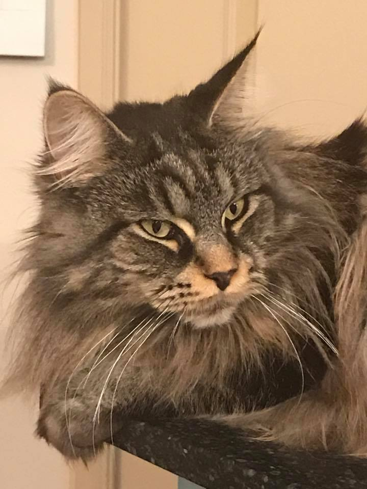 Thundapaw Maine Coons Maine Coon Breeder Bungendore Nsw