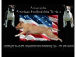 Amseraphs - American Staffordshire Terrier Breeder - Sydney, NSW