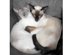 Rislani Cats - Siamese & Oriental Cat Breeder - Gippsland, VIC