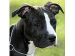 BellaWest Amstaffs -  American Staffordshire Terrier Breeder - Coffs Harbour, NSW