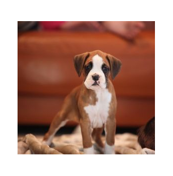 Registered Boxer Dog Breeders Australia