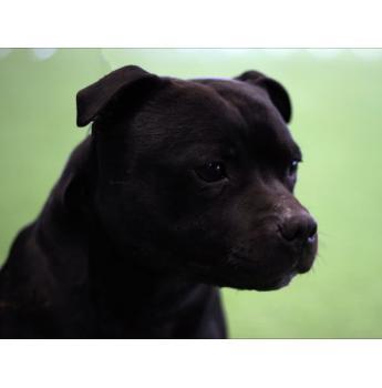 Staffordshire Bull Terrier Breeders Australia Staffordshire Bull Terrier Info Puppies