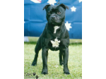WOOLOOSTAFF - Staffordshire Bull Terrier Breeder - VIC