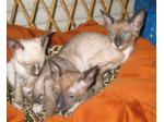 Myshan Cattery - Burmese Breeder, Cornish Rex Cat Breeder - Sydney, NSW