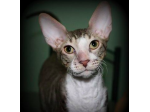 Mantang - Cornish Rex Cat Breeder - Brisbane, QLD
