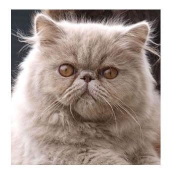 Glevum Cattery - Persian and Exotic Cat Breeder - Brisbane, QLD
