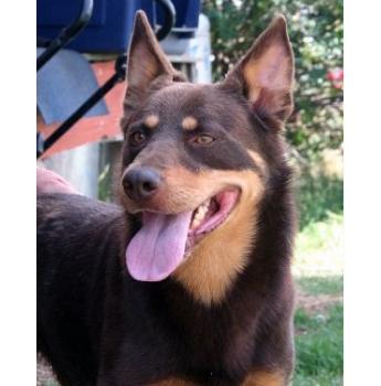 Registered Australian Cattle Dog Dog Breeders Australia