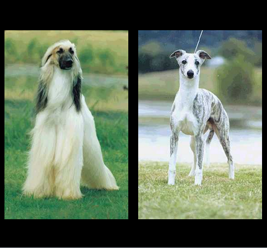 Calahorra SightHounds  gallery image