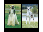 CALAHORRA - Afghan Hounds & Whippet Breeder - Sydney, NSW