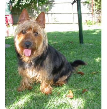 Atrigema Kennels Australian Terrier Breeder Dapto Nsw