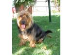 Atrigema Kennels - Australian Terrier Breeder - Dapto, NSW