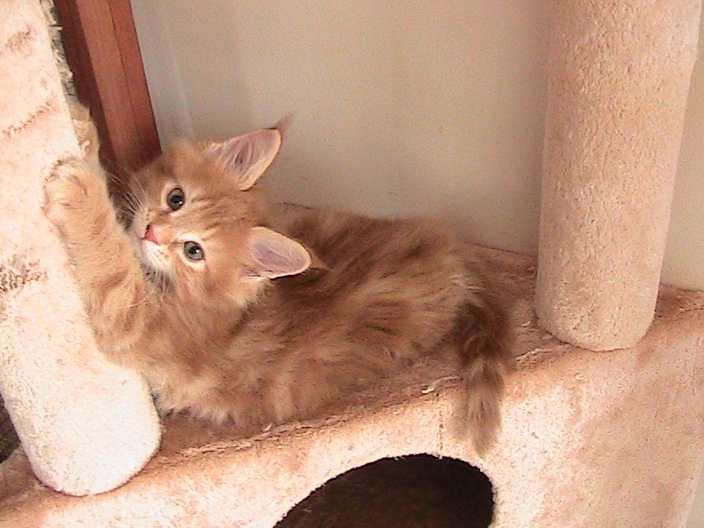 Majesticoon Male Kitten gallery image