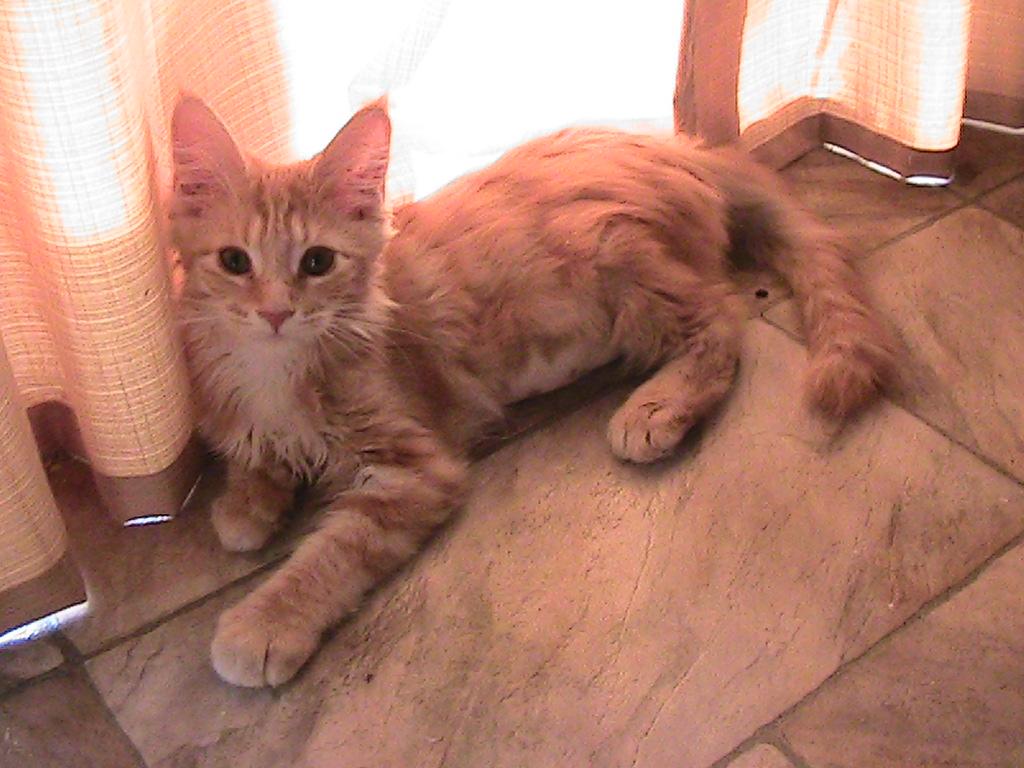Majesticoon Female Kitten gallery image