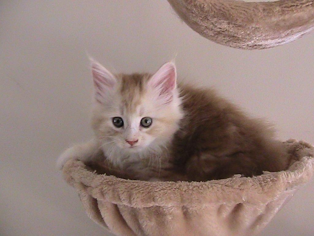 Majesticoon Female Kitten