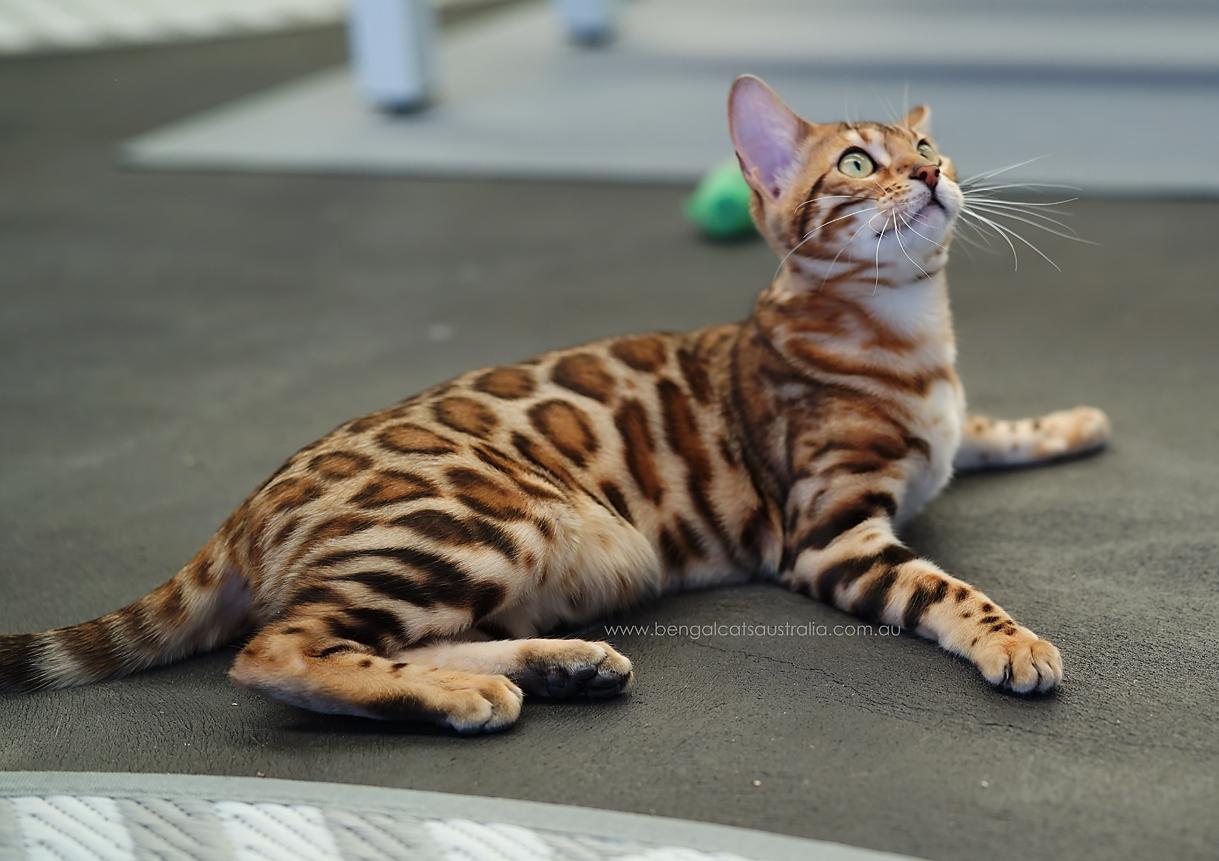 Bengal Cats Australia  |  Ashmiyah Renegade