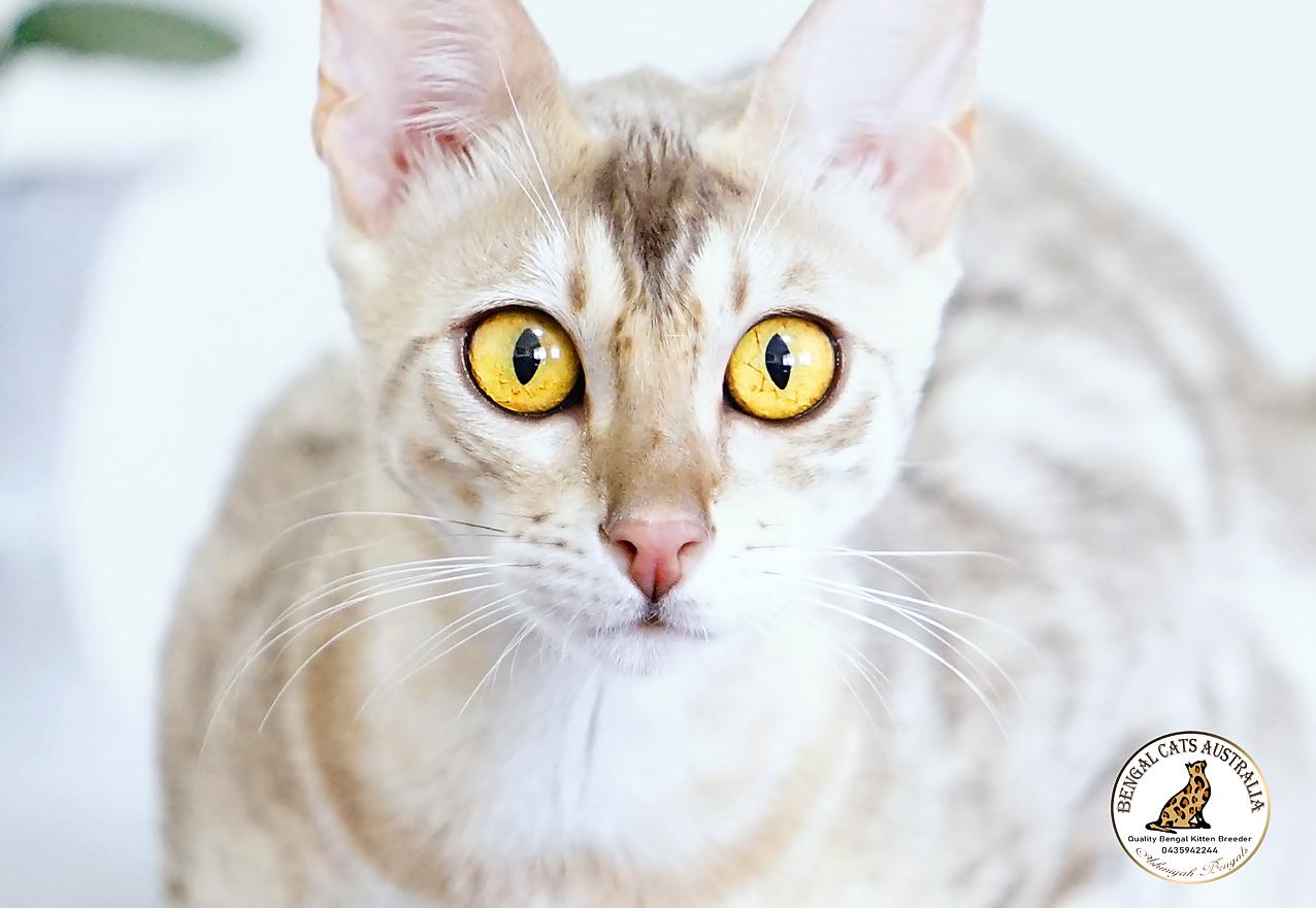 Bengal Cats Austrlalia | Blue Bengal Cat gallery image
