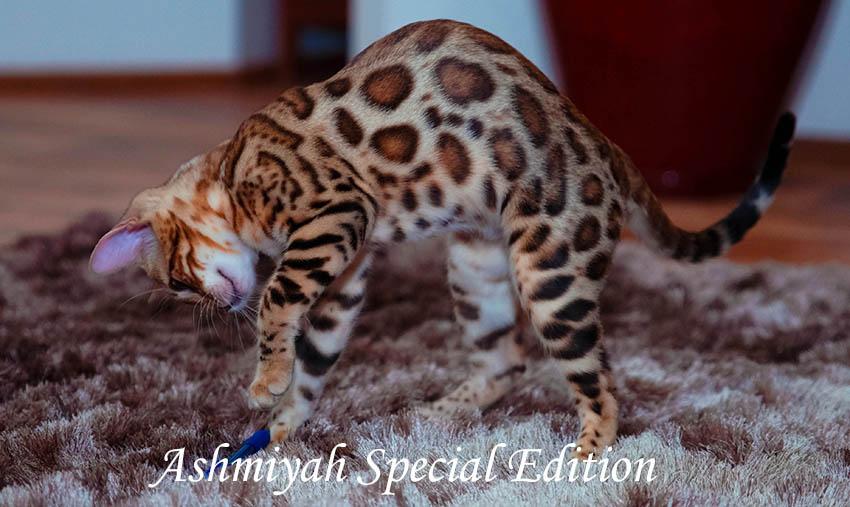 Bengal Cats Australia gallery image