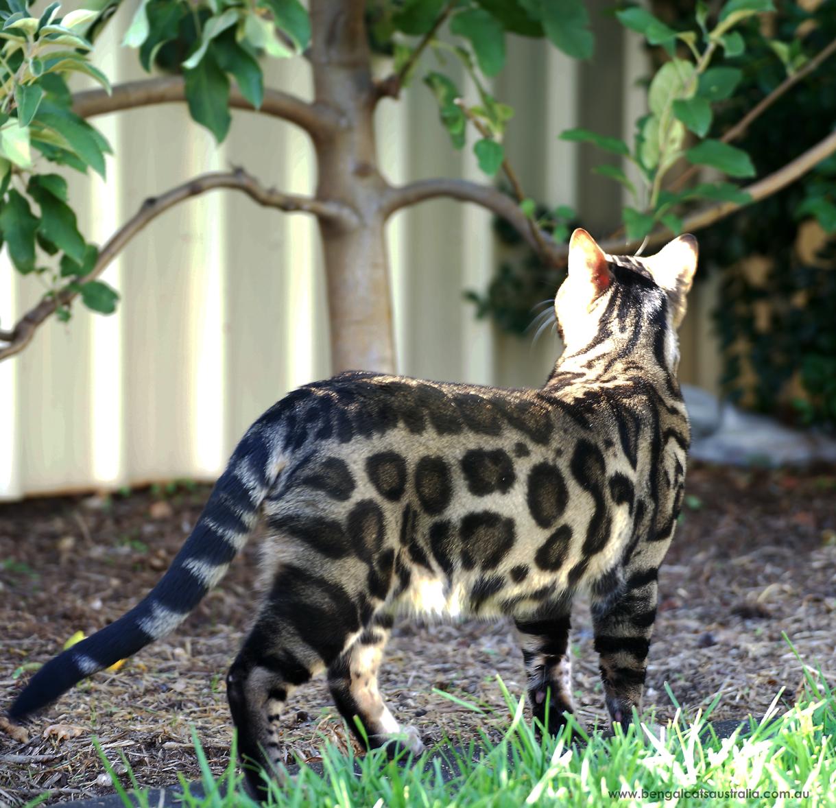Bengal Cats Australia | Ashmiyah Bengals gallery image