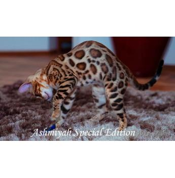 Bengal cats adelaide for sale