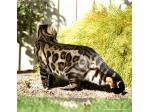 Bengal Cats Australia | Bengal Cat Breeder | Adelaide, South Australia