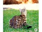 Ashmiyah Bengal Cats  |  Adelaide, South Australia