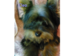 YERONGTONG - Australian Silky Terrier Breeder - NSW