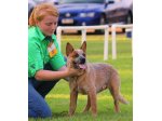 Tagetarl Kennels -  Australian Cattle Dog & Stumpy Tail Cattle Dog Breeder - Darwin, NT