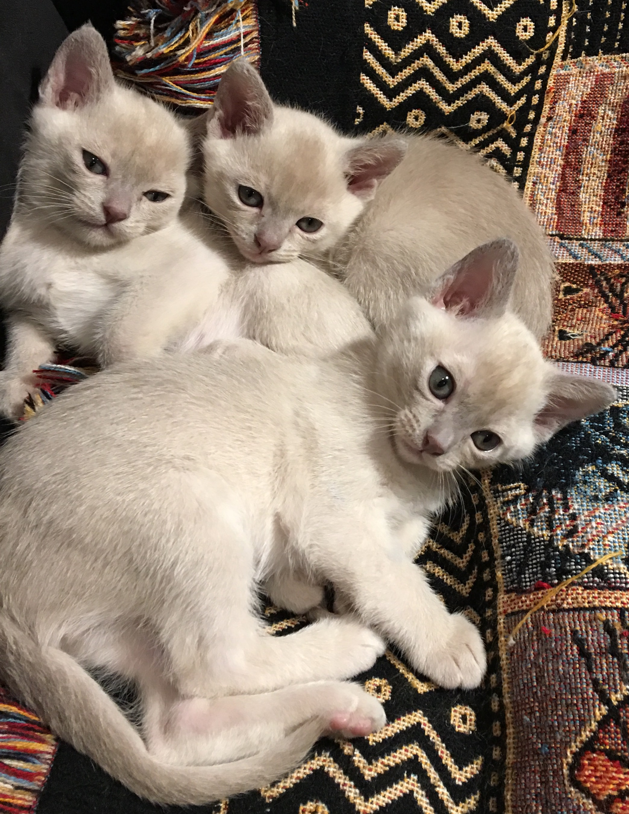 Lilac Kittens  gallery image