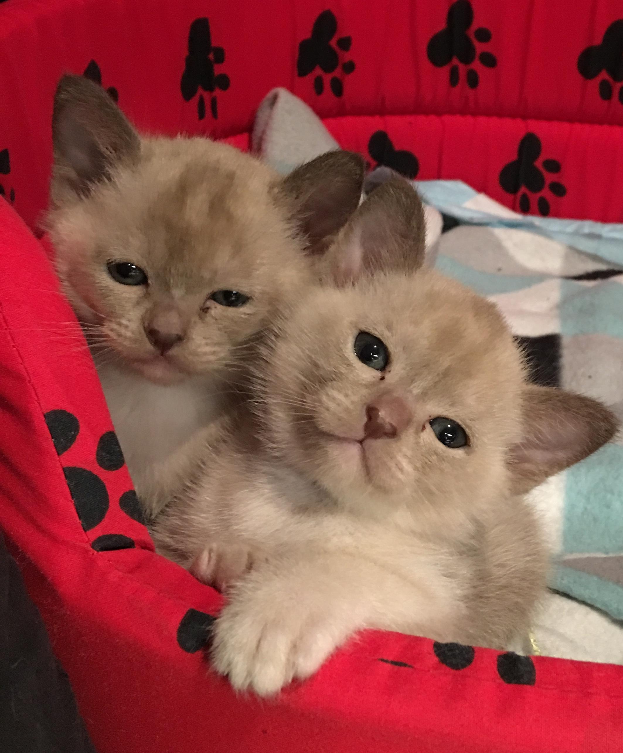 Chocolate Kittens  gallery image