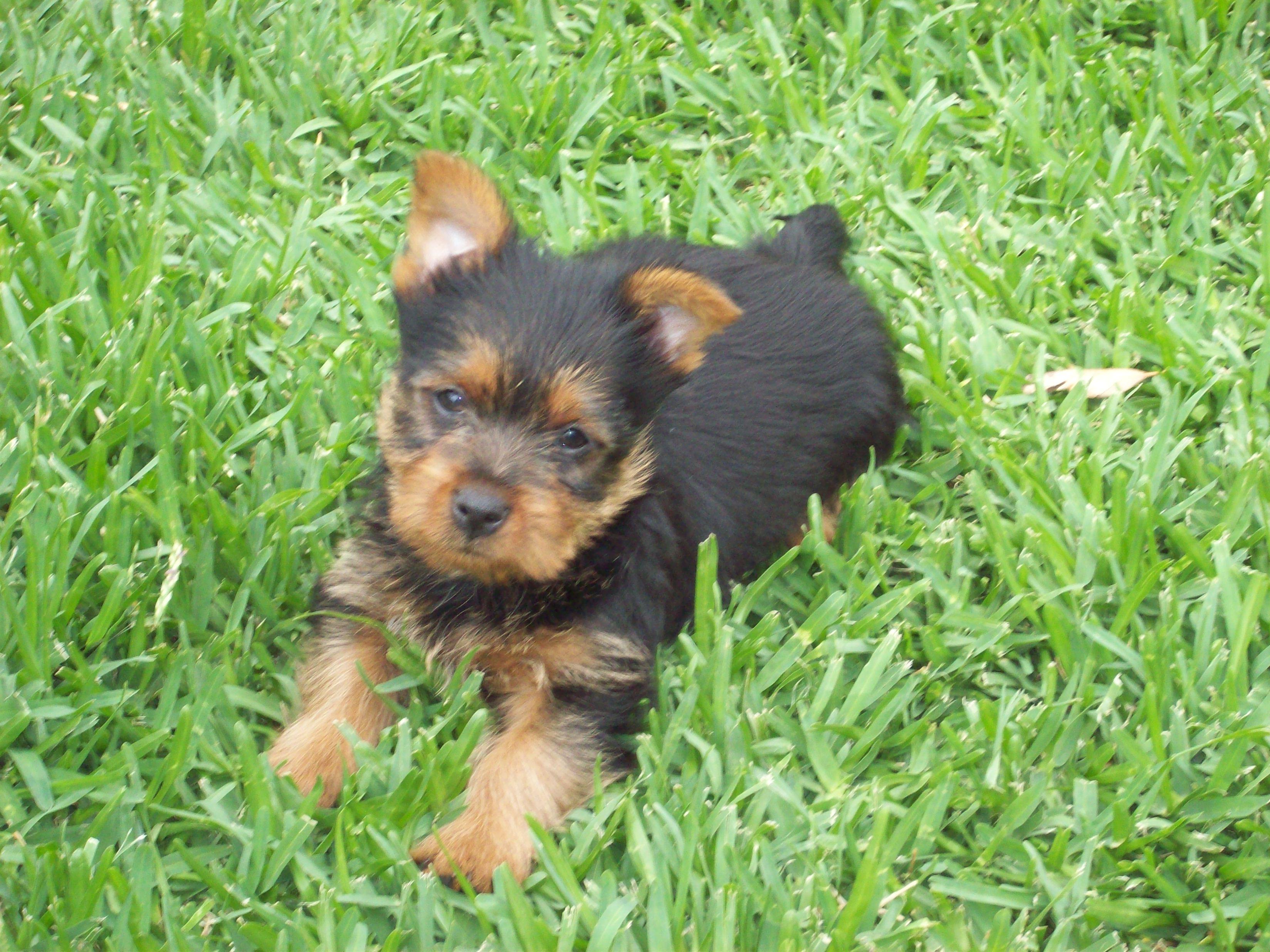 Tainquest Australian Terrier Breeder Sa