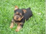 Tainquest - Australian Terrier Breeder - SA