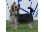 Pondaroza - Australian Silky Terriers and Japanese Chin Breeder - Brisbane, QLD