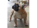 Mjosa French Bulldog Breeder - Adelaide, SA