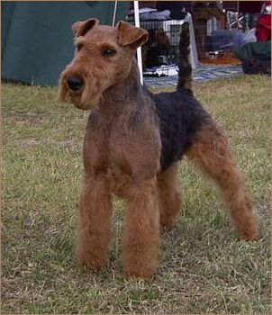 Cliff Welsh Terrier gallery image