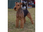 Airewood - Airedale and Welsh Terrier Breeder - Victoria