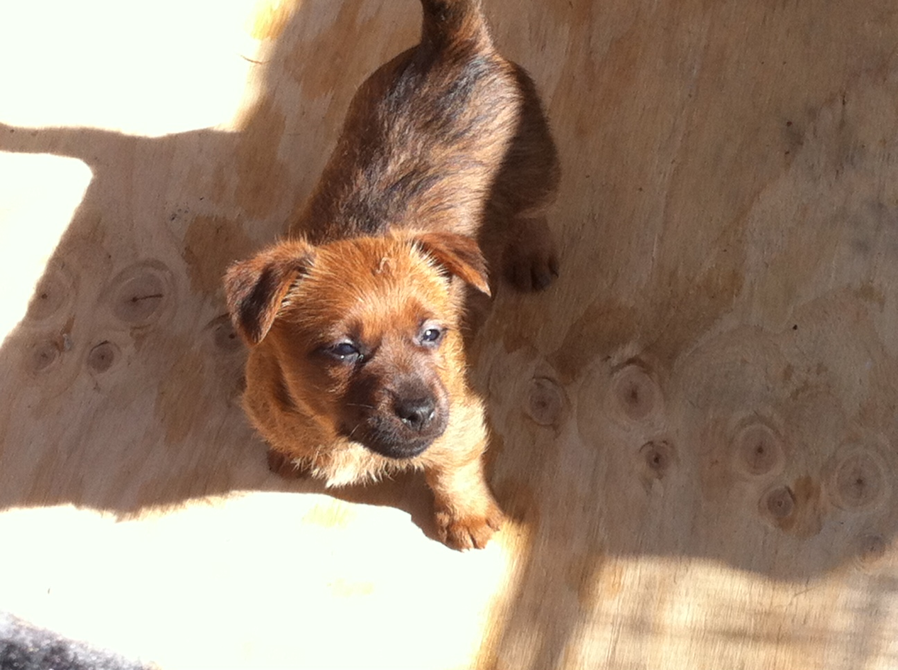 Bellarosso Australian Terrier Breeder - Gladstone, Tasmania | Border Terrier Puppies Western Australia
