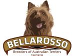 Bellarosso Australian Terrier Breeder - Gladstone, Tasmania