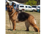 NikobisHunde German Shepherd Breeder - Sydney, NSW